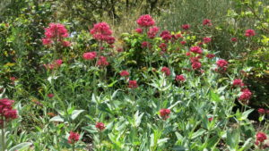 Tall red flowers in demo garden