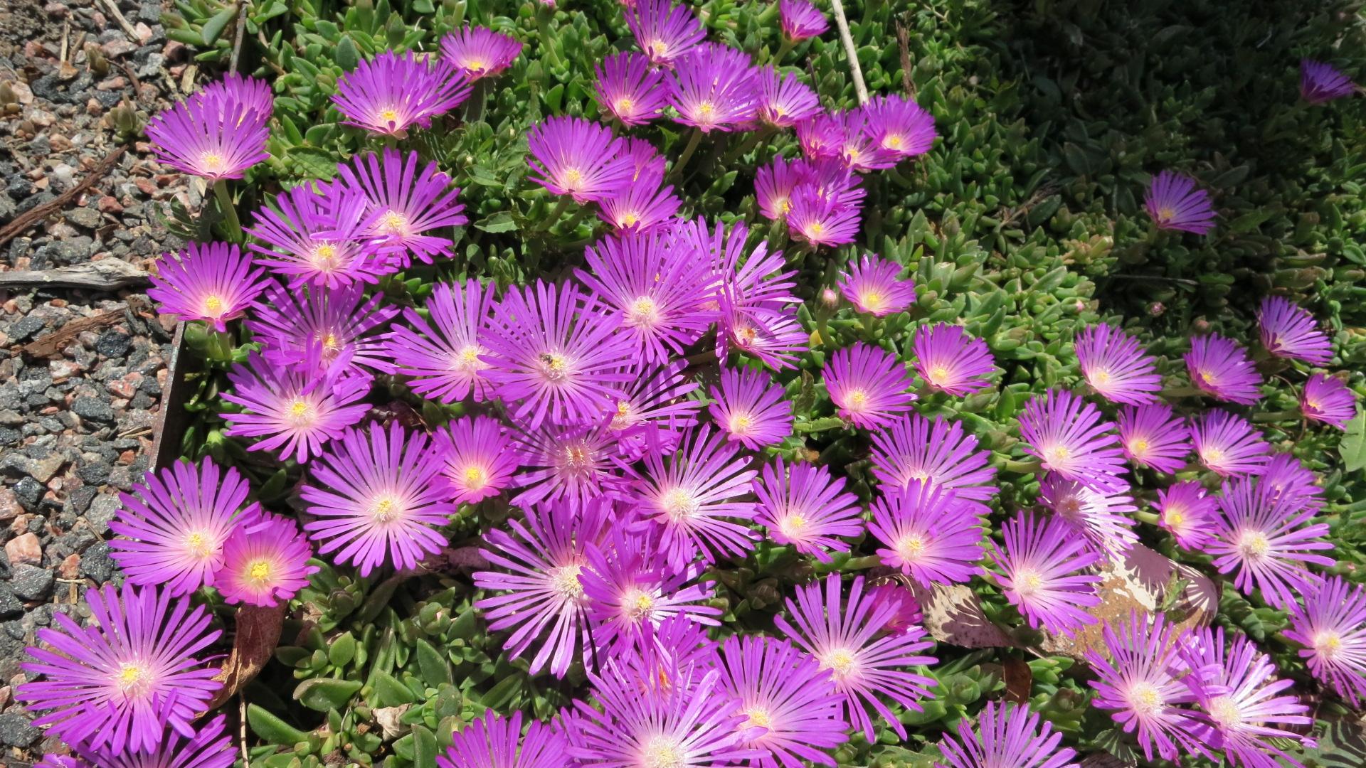 Pink flowers in the rock garden