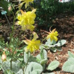 Yellow Columbines in the Sensory Garden