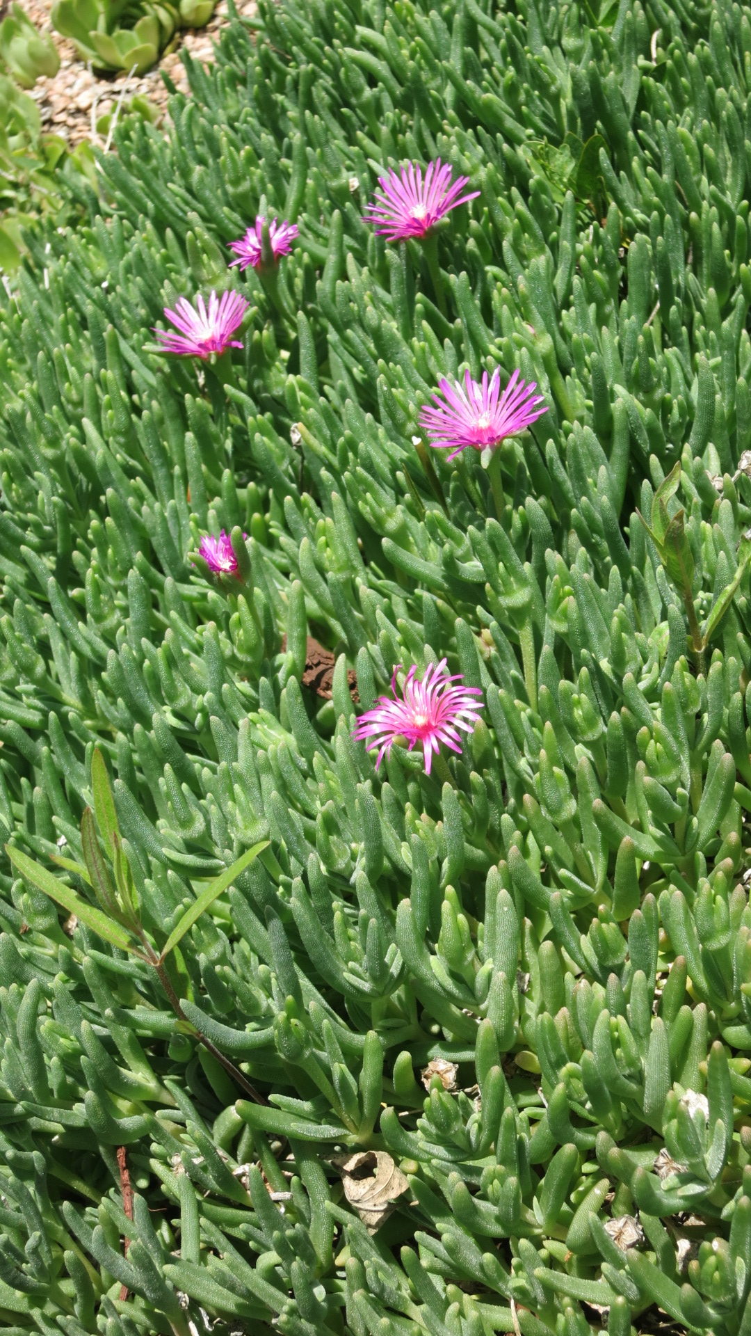 Ice Plant in the Animal Garden