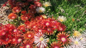 Red ice plant flowers