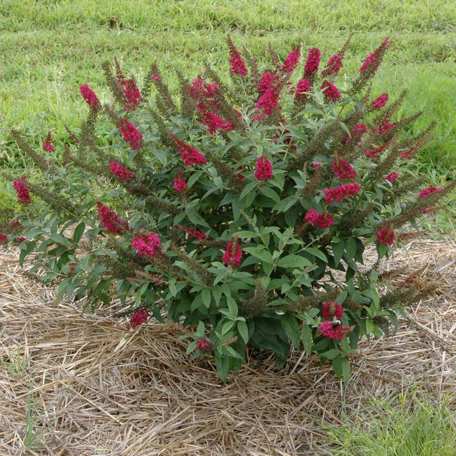 Red blooming butterfly bush