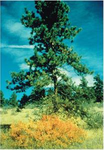 Native Ponderosa Pine