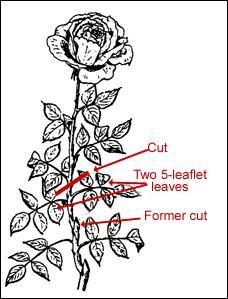 Rosebush illustration showing 5-leaflet