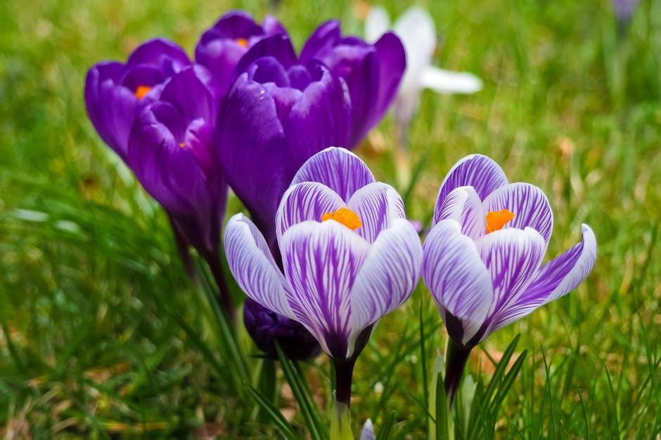 Purple crocus in bloom