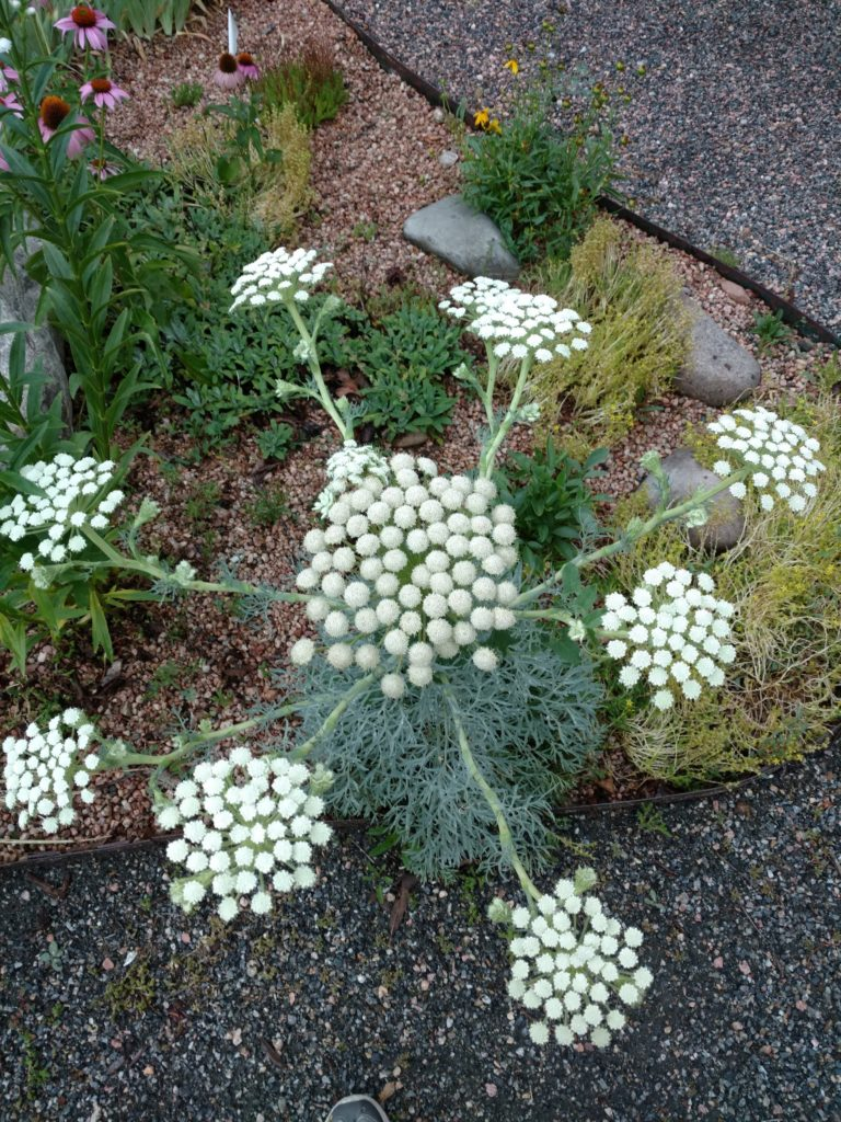Moon carrot plant with white blooms
