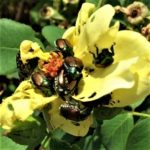 Close-up of Japanese Beetles on yellow rose