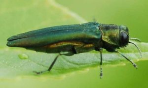 Adult Emerald Ash Borer on Leaf