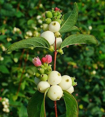 Snowberry branch with pink flowers, white berries.