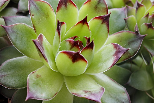 Closeup of hens and chicks plant