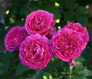 Ruby Voodoo Rose
