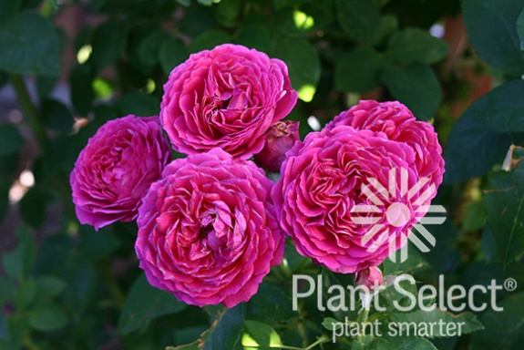 'Ruby Voodoo' rose