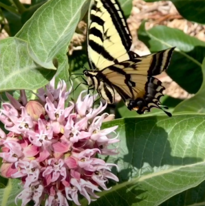 Milkweed flower and butterfly