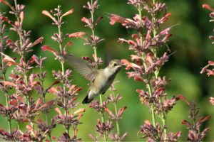 hummingbird on sunset hyssop