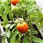 Tomato plants in planter